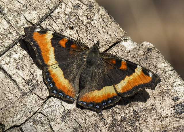 Milbert's Tortoiseshell - Aglais milberti (Nymphalidae, Nymphalinae, Nymphalini) 121y-4147788