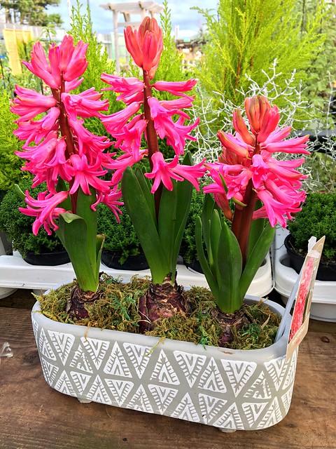 A trio of Hyacinths