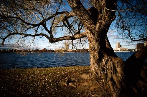 Tree on the Charles River Esplanade (3)
