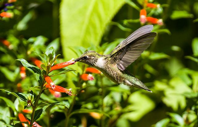 OP7A5939  Ruby-throated Hummingbird, Canada