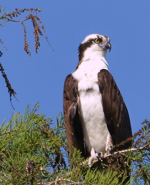 Treetop Osprey
