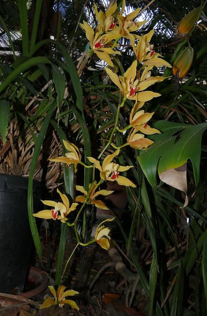 Cymbidium lowianum 'James Drysdale' species orchid 3-21