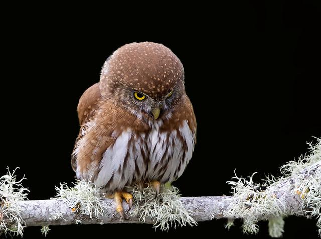 Northern Pygmy Owl 3I9118.1