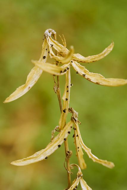 028877a- Hosta Spreading It's Seed
