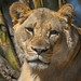 "<p><a href=""https://www.flickr.com/people/154721682@N04/"">Joseph Deems</a> posted a photo:</p>  <p><a href=""https://www.flickr.com/photos/154721682@N04/51121240296/"" title=""Lioness""><img src=""https://live.staticflickr.com/65535/51121240296_54a48579e6_m.jpg"" width=""230"" height=""240"" alt=""Lioness"" /></a></p>  <p>Dallas Zoo</p>"