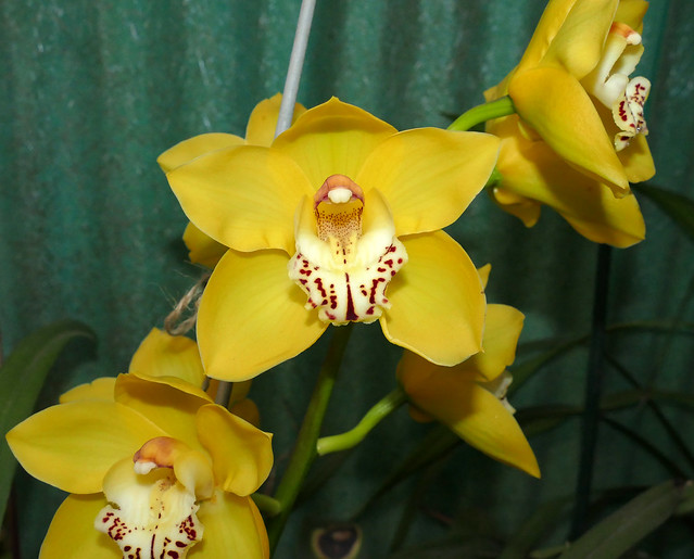 Cymbidium Tower of Gold hybrid orchid 3-21