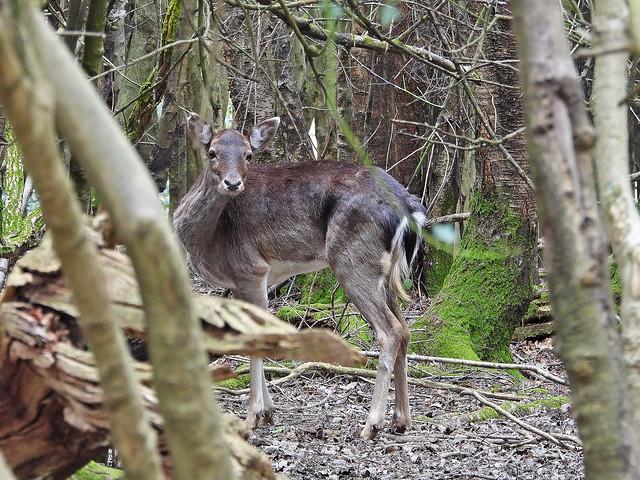 Fallow Deer, AshPlace, Apr 15 2021, P1 (13)