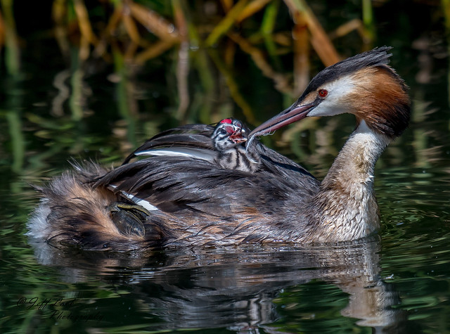 DSC7093  Great Crested Grebes..