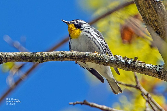 Yellow-throated Warbler.