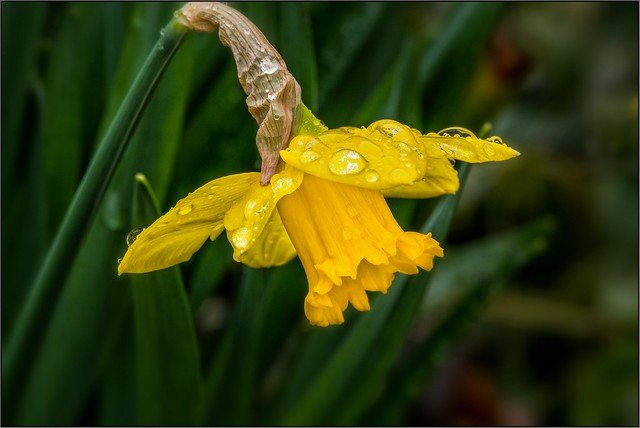 DSC05683-  Daffodil