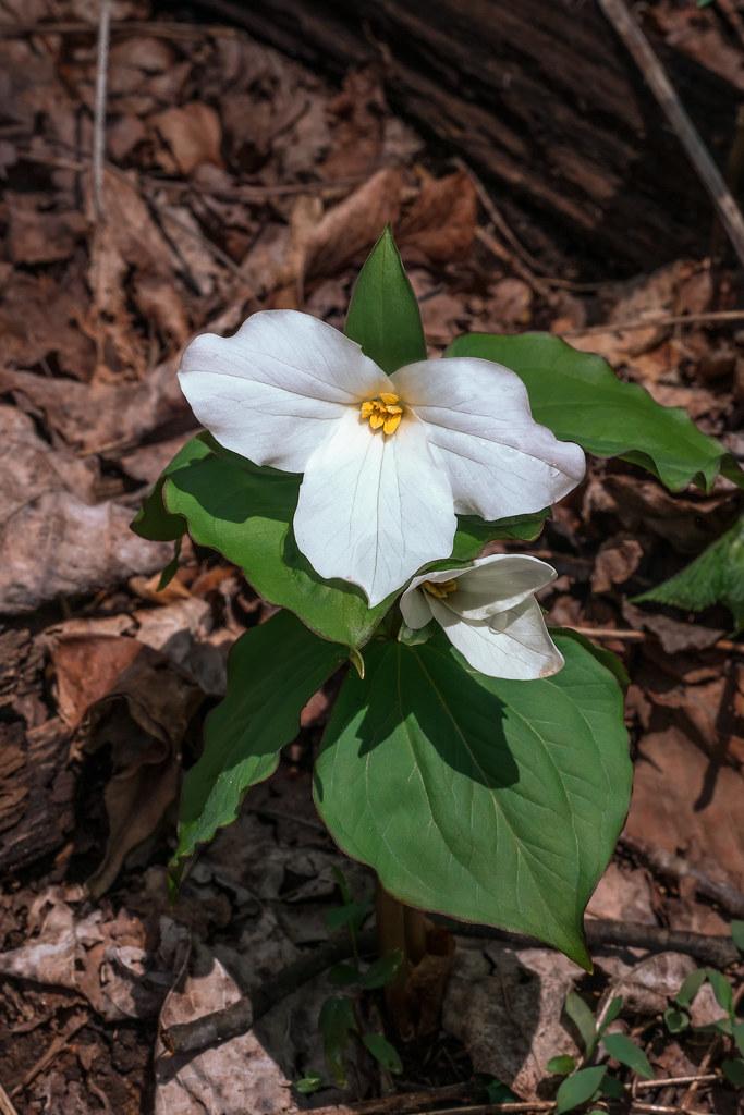 Large flower Trillium