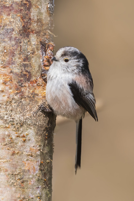 You just can't help but love a Long Tailed Tit !