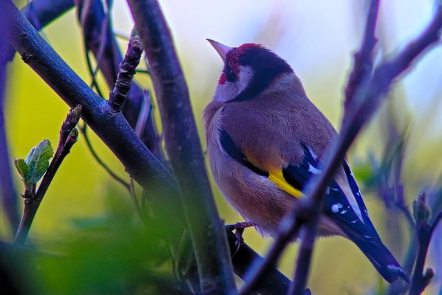 Goldfinch listening