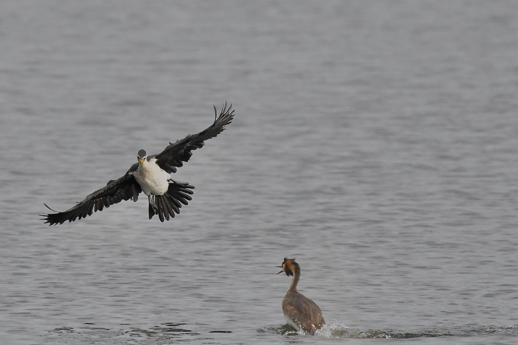 Little Pied Cormorant And great Crested Grebe