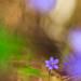 Leberblume