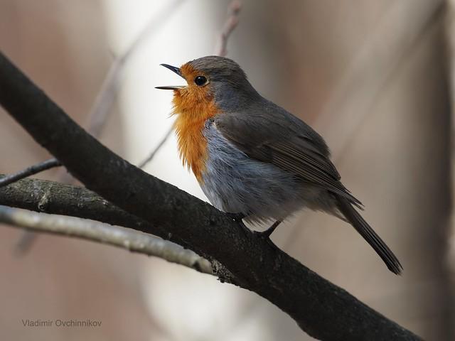 Robin - зарянка