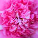 Pink & White Camellia, 2.6.18