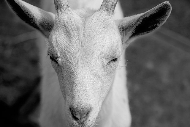 the sublime goat