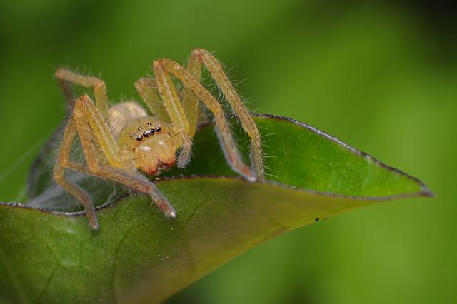 Garden Huntsman Spider