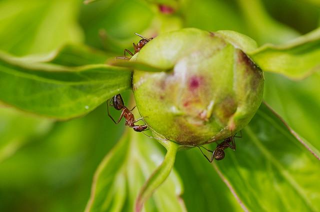 ants & peony bud