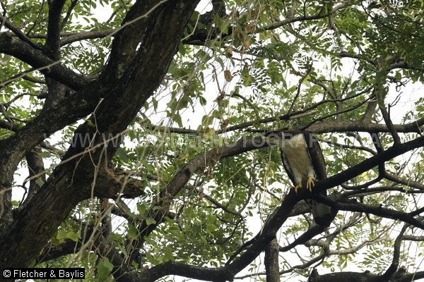 51689 A recently fledged Oriental Honey Buzzard (Pernis ptilorhynchus torquatus) still returns to the nest tree daily, Perak, Malaysia. Its grey eyes will eventually turn yellow. IUCN = Least Concern.