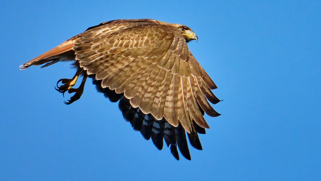 Takeoff: Red-tailed Hawk