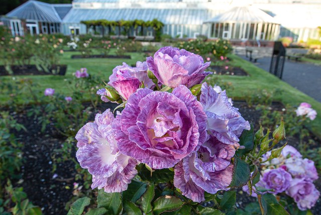 Rose Garden Sunrise