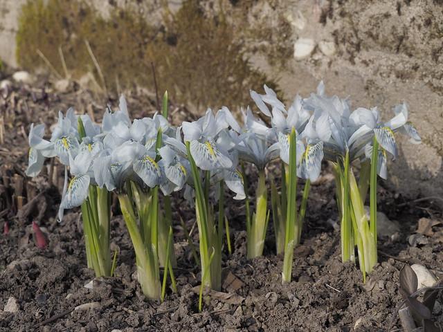 Iris histrioides 'Sheila Ann Germany'