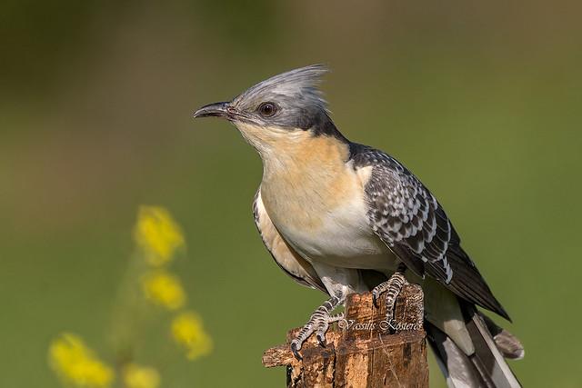 Clamator glandarius, Κισσόκουκος, Great Spotted Cuckoo