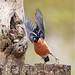 Nature 3.Bullfinch takeoff