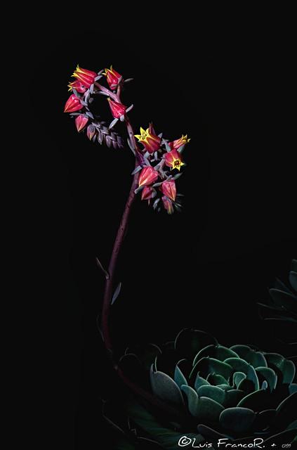 Echeveria  great rose