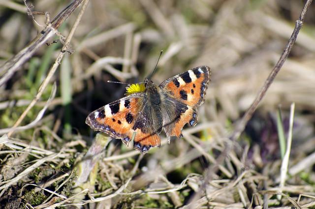 Kevadine liblikas