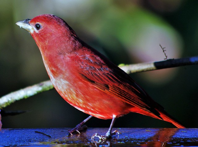 Male Summer Tanager (Piranga rubra) __