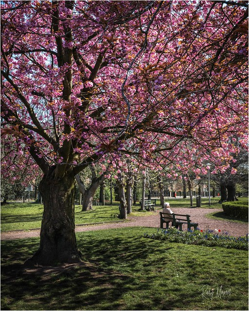 18 April 2021: Are the cherry trees that are in full bloom announcing the beginning of the end?