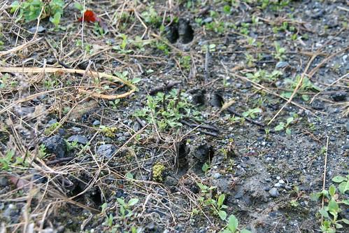 御勅使川で鹿の足跡