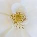 White Rose, Pistil, & Stamen, 10.27.17