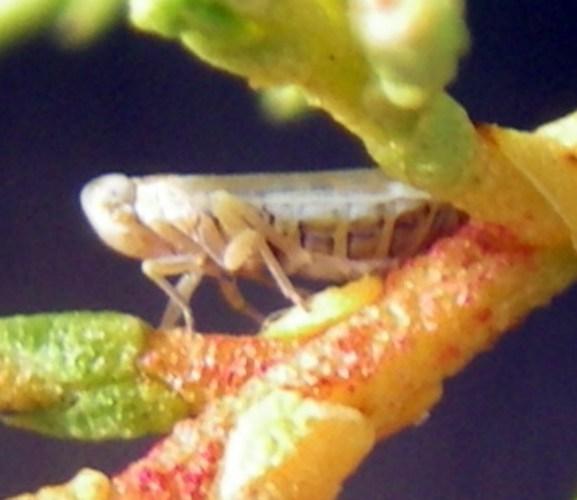 Duilius bipunctatus 51122440934_c1fdca5603_o