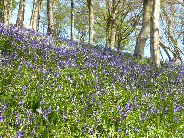 Bluebell Woods, Emmetts Garden, Kent
