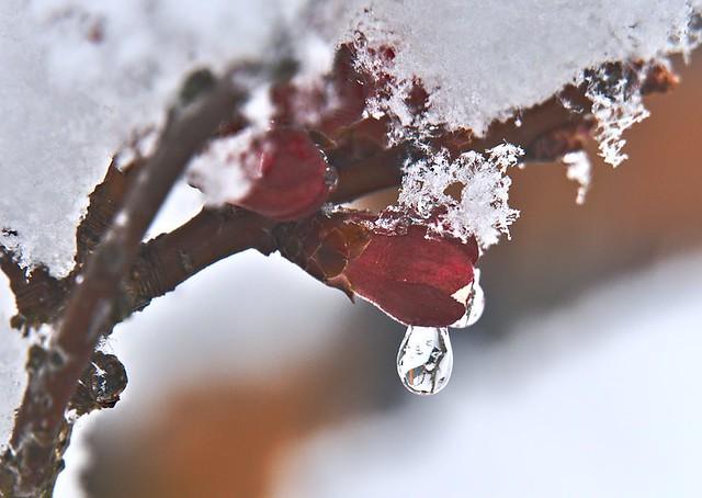 Marillenknospe im Frost