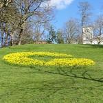 Daffodil 'G' at Avenham Park