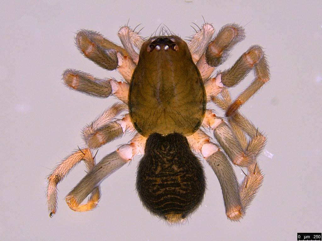 13a - Araneae sp.