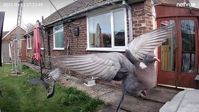 IMG_0446 pigeon