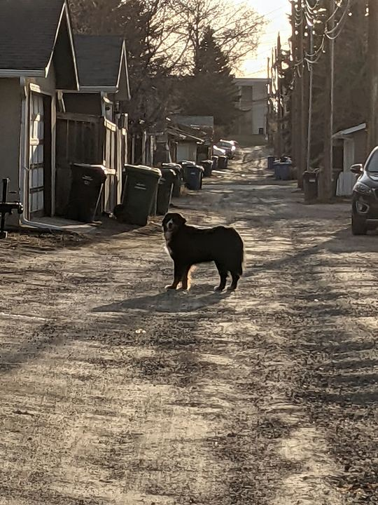SIGHTING older dark dog w/ white nose & chest in #Glenmore #Altadore. Call 311 ASAP if sighted. DO NOT CHASE!! Pls rt, share, watch, help FOUND (sighting) Older dog wandered out of the alley of 50th Avenue and 19th Street SW. May have been deaf as it didn