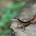 common dotted garden skink
