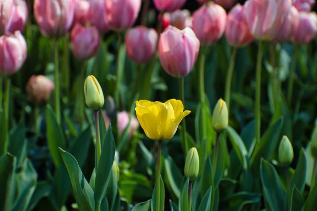 Tulip in focus