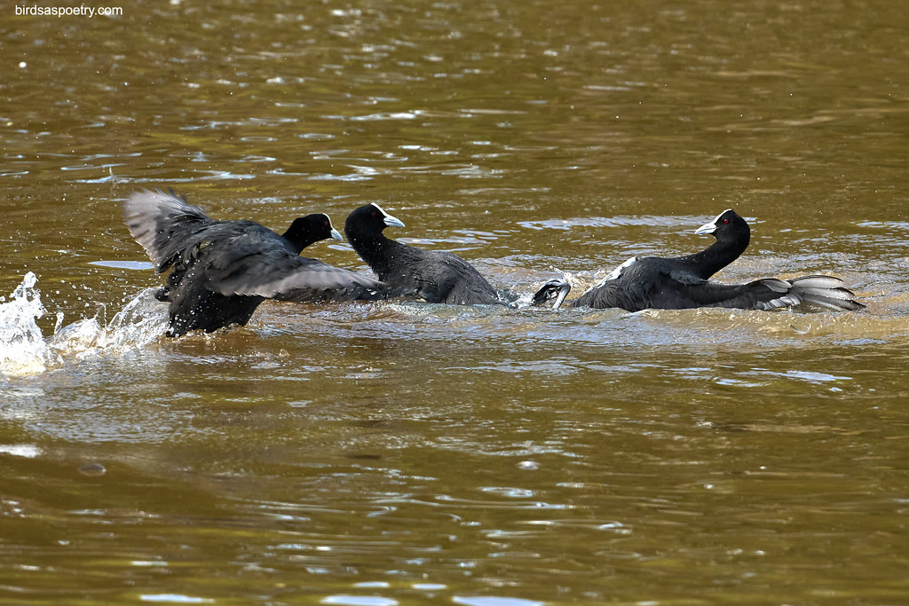 Eurasian Coot: Cavalry Arrives (In the nick of time)