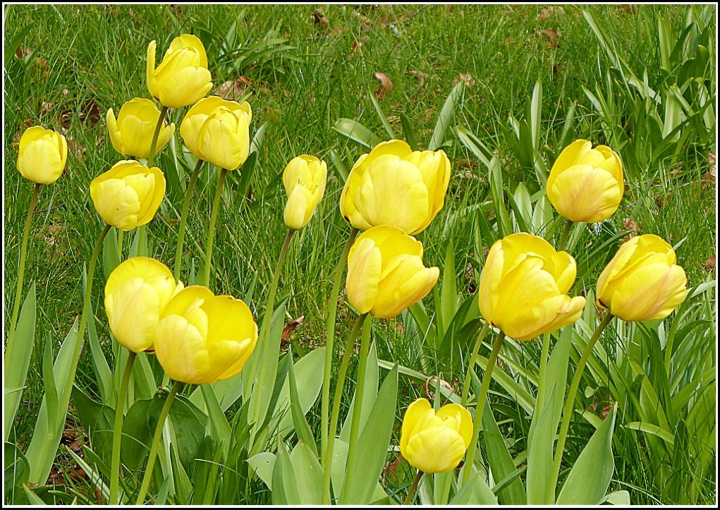 Yellow Tulips ..