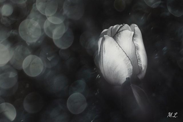 Black & white Tulip