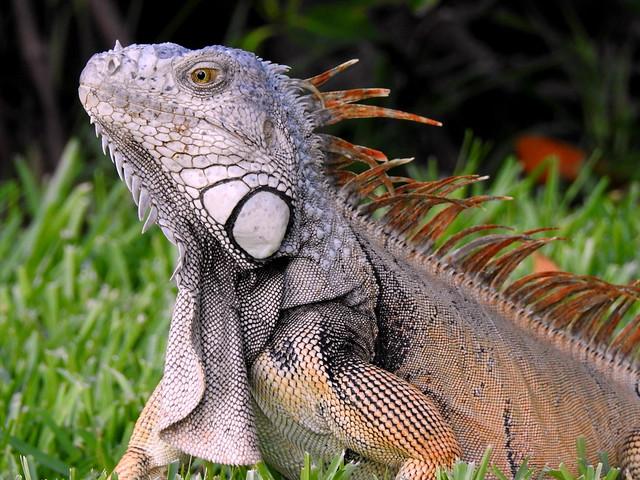Wild Green Iguana On Key West - Florida - USA