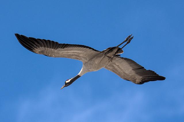 серый журавль / common crane 20210417__DSC0691